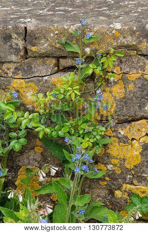 Green Alkanet (Pentaglottis sempervirens) in an English Garden.