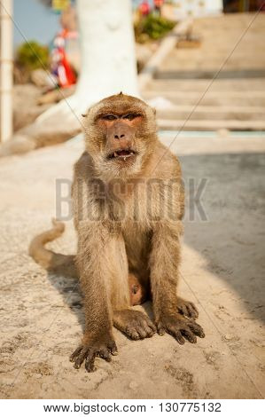 Monkey in Khao Takiab temple in tahi Hua Hin. Fauna of south east Asia.