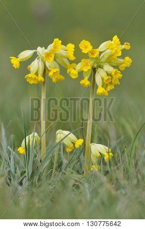 Cowslip - Primula veris Common Grassland Meadow Flower