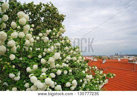 Spring in Prague. Blossom. Roof tile. Sky