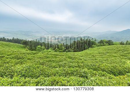 green tea plantation in lushan mountain China.
