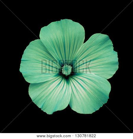 Green flower lavatera black isolated background. Macro. It can be used in website design and printing. Suitable for designers.