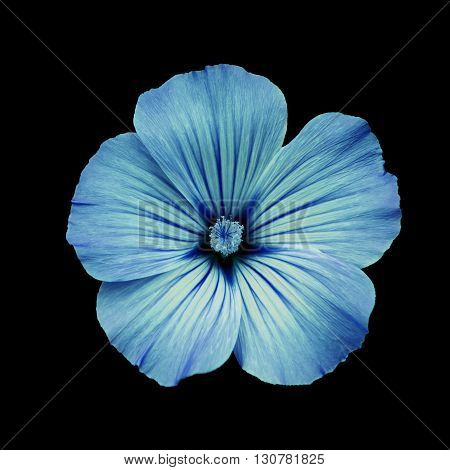 Blue flower lavatera black isolated background. Macro. It can be used in website design and printing. Suitable for designers.