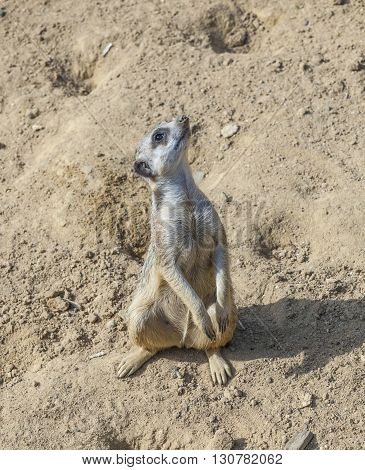 Meerkat Watching The Environment
