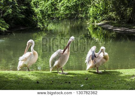 White Pelicans Enjoy The Sun