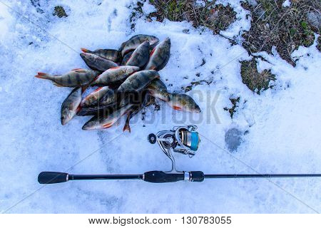 Fishing on a spinning winter. Catch spinning. Fish caught on the ground. Perch on the berg of the river catch.