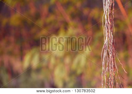brown tree vines with the rainforest background