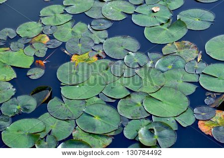 Round, green waterlily pads floating in still blue pond water