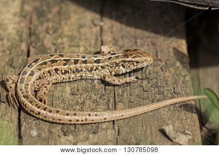 The brown viviparous lizard Lacerta agilis. Spring Russia.