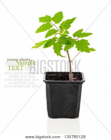tomatoes seedlings in a pot on white background