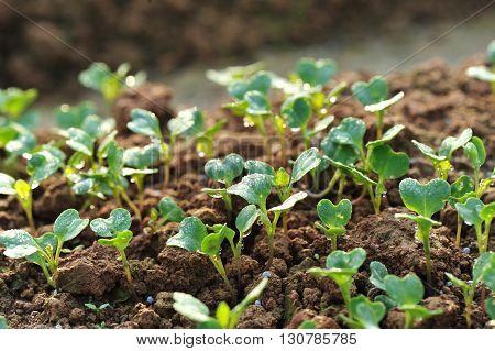 green radish plants in growth at garden