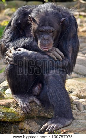 Male Chimpanzee sitting in a thoughtful pose
