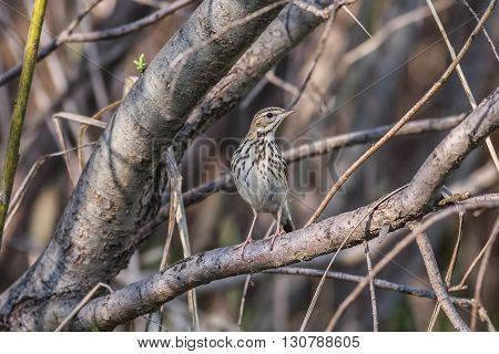 Tree pipit Anthus trivialis sitting on a tree branch