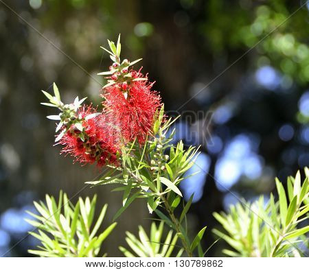 Red Bottle Brush flower blooming in the background