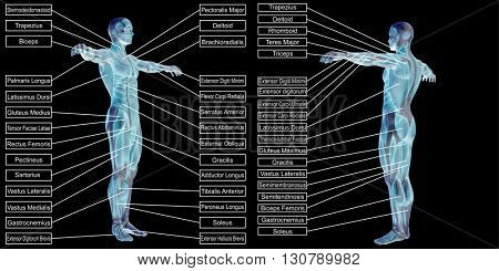 3D illustration of a concept or conceptual human man anatomy and muscle text isolated on black background