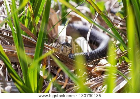 A black grass snake Natrix. natrix sunbathing in the spring sun. Russia.