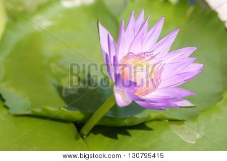 lotus flower is the most beautiful ever seen