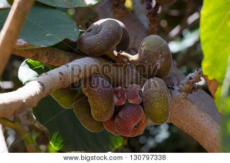 Ficus red fruits on the trunk of tree