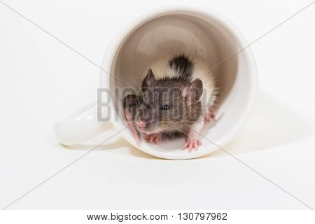 Brattleboro Rat , Lab Rat