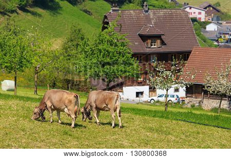 Stans, Switzerland - 8 May, 2016: two cows with bells on their necks grazing on green grass. The town of Stans is the capital of the Swiss canton of Nidwalden.