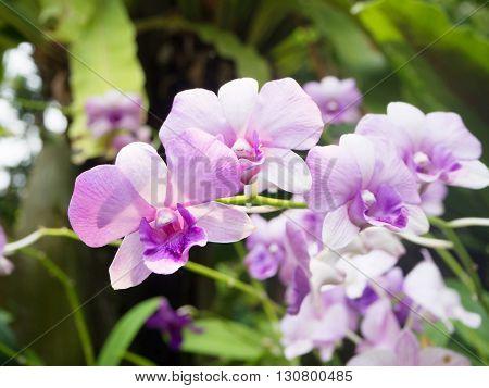 Thai beautiful orchid flower in garden in Thailand