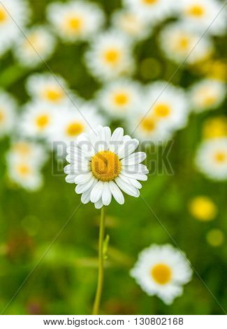 meadow full of ox-eye blooming daisy flowers