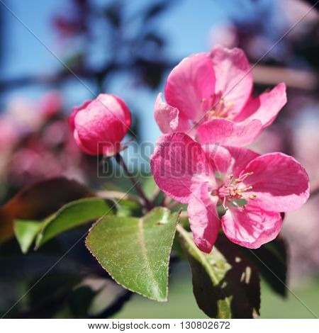 Pink Apple Flowers In Bloom. Spring. Aged Photo.
