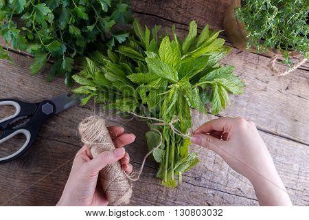 Gardener is tying up bunch of fresh mint
