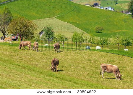 Stans, Switzerland - 8 May, 2016: cows with bells on their necks grazing on green grass. The town of Stans is the capital of the Swiss canton of Nidwalden.
