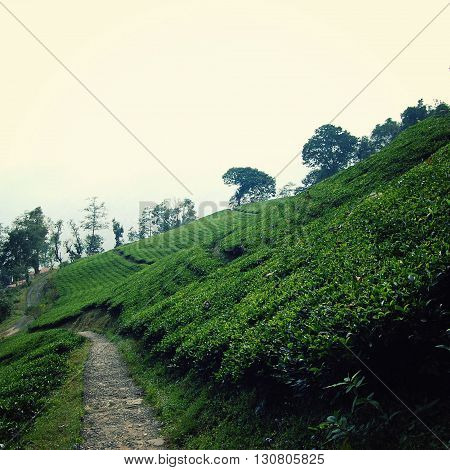 Darjeeling tea plantation. Vintage filter photo. Green tea bushes on the North of India. Tea Growing Region. Winter in West Bengal district. India.