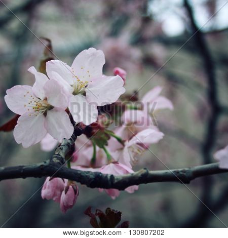 Blossoming Sakura Flowers In Spring. Aged Photo.