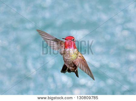 Male Annas Hummingbird in Flight, green background