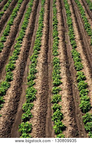 Rows Of Young Potato Plants On The Field - Vertical Orientation