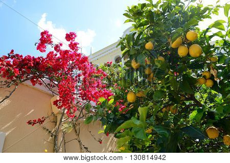 The Bougainvillea and lemon tree with yellow lemons Corfu Greece