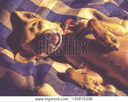 dramatic lighting photo of a puppy sleeping on a plaid blanket with sunshine coming through a window toned with a vintage retro instagram filter effect