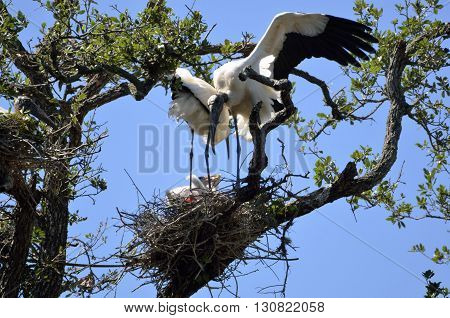 Wood stork in the wild nesting its babies background