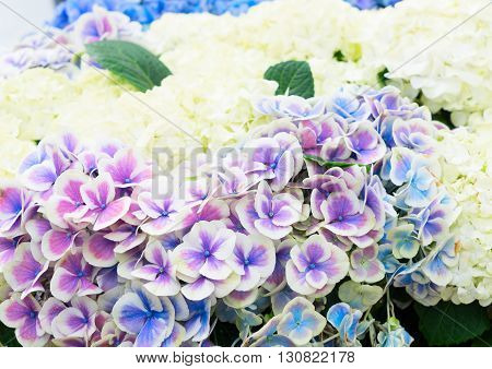 Violet and white fresh hortensia flowers with green leaves close up