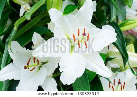 White fresh lilly flowers with green leaves close up