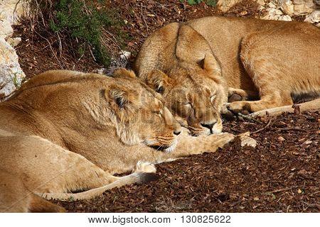Lion siblings make their siesta in the sun