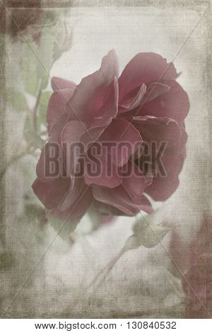 Faded red rose that is aged and distressed.