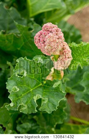 Green rhubarb are in blossom (flower head). Shallow depth-of-field.