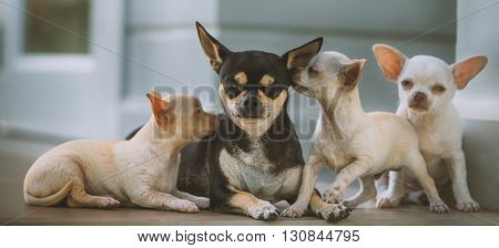 Portrait of three little chihuahua with mother