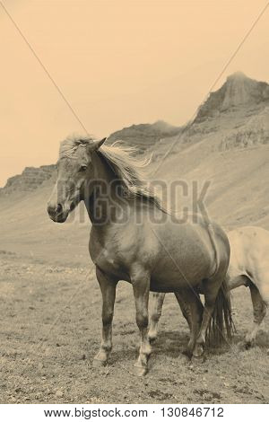 Beautiful Icelandic horses in retro color with mountain as background