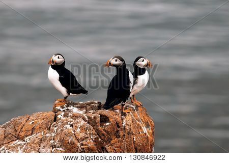 Beautiful puffins from Iceland - in the nature