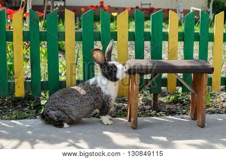 Cute bunny rabbit with old stool on a background of yellow-green fence and red tulips countryside