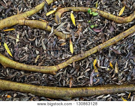 close up of surface tree roots nature concept