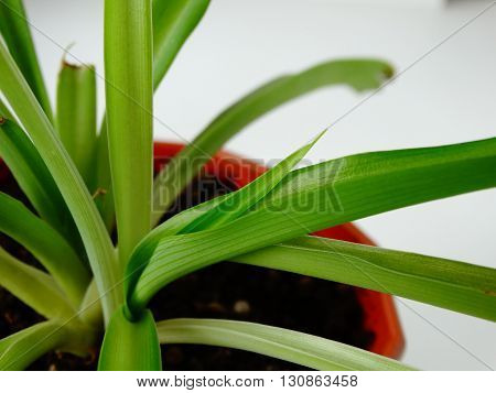 Plant Chlorophytum home spring nature sprout growing cultivation