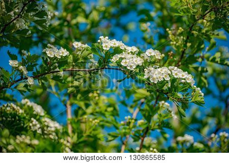 floral spring background branch of cherry tree with blossoming flowers in Germany