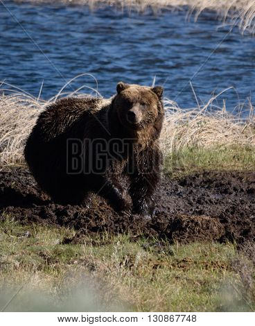 a grizzly near a pond in a mud wallow