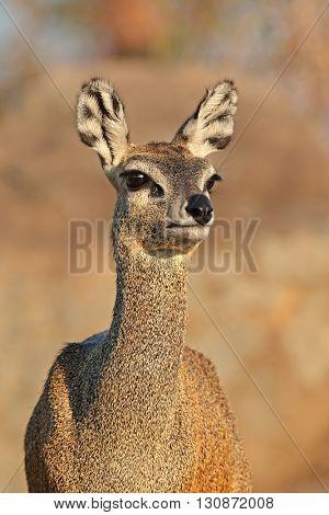 Portrait of a klipspringer antelope (Oreotragus oreotragus), Kruger National Park, South Africa